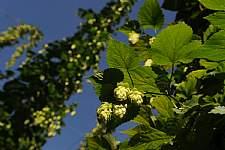 Hopfenblüte © Stadt Tettnang, Foto: Felix Kaestle