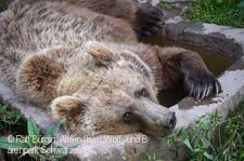 Bär im Alternativen Wolf- und Bärenpark Schwarzwald.