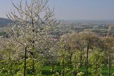 Obstbäume in Kappelrodeck