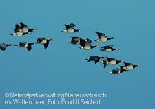 Zugvögel des Wattenmeeres