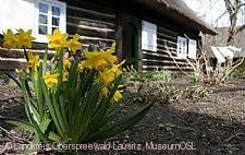 Osterglocken im Freilandmuseum Lehnde MuseumOSL