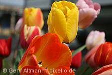 Gönninger Tulpenblüte