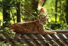 Katze auf dem heißen Blechdach - Luchs.